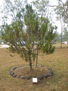 More Recent View of The Pine Tree 01