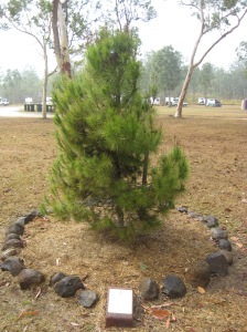 More Recent View of the Pine Tree 02